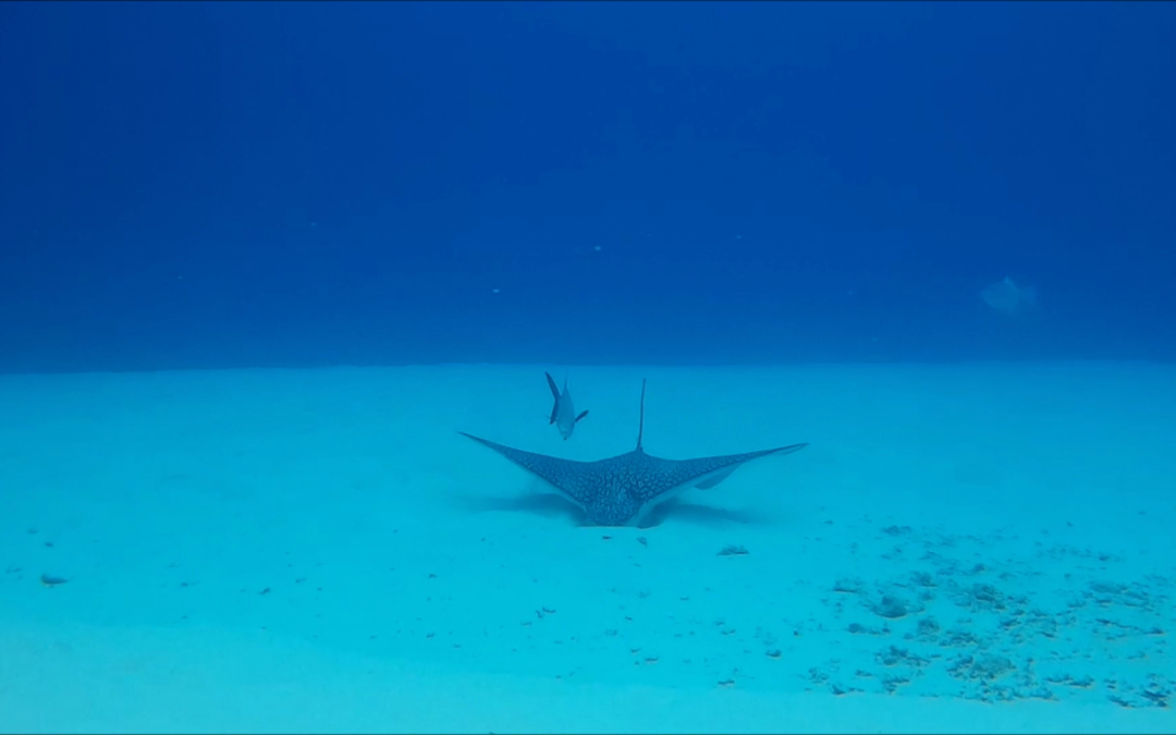 Eagle rays are arriving to Cozumel!