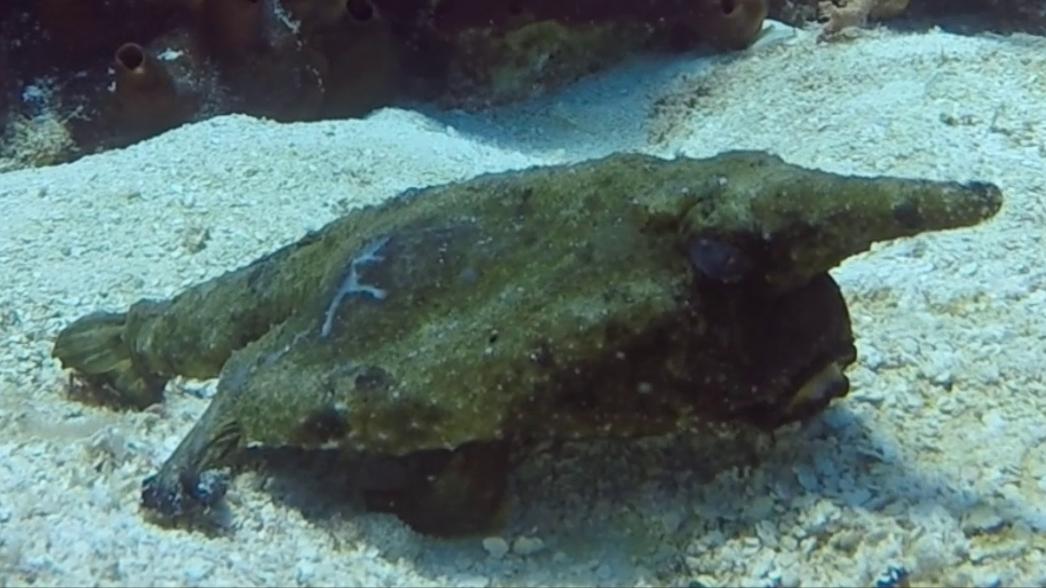 Longnose Batfish at Playa Casitas